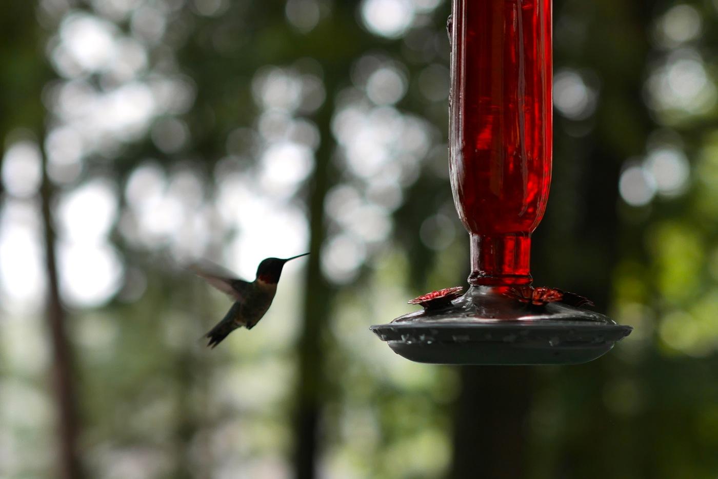 Colibri au chalet