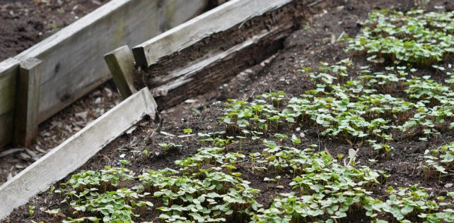 Jachère obligée: le sarrasin comme engrais vert