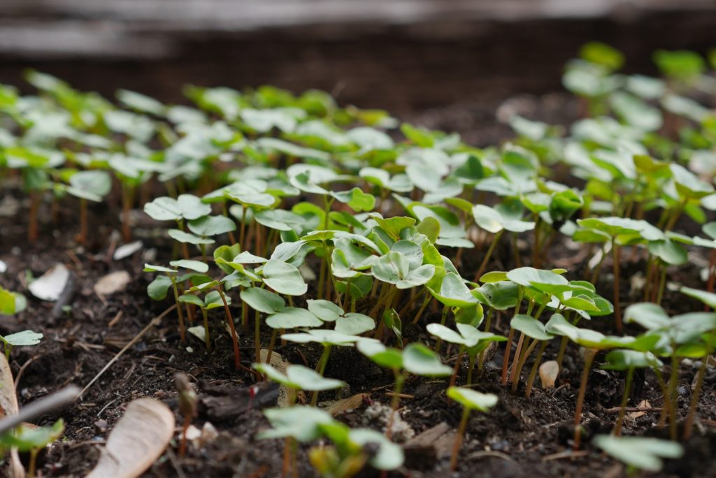 Notre choix d'engrais vert: le sarrasin.