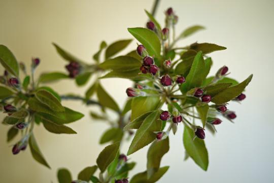 Bouquet simplissime: une branche de pommier