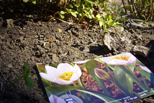 bulbe_tulipe_plate-bande