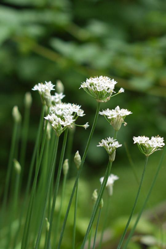 ciboulette-en-fleur