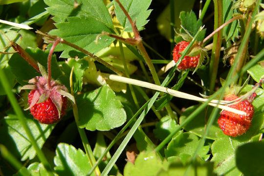 fraises_sauvages
