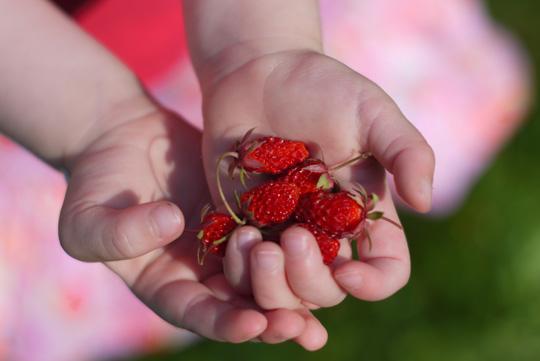 Morilles rouges et sucrées (naaa, ce sont des fraises sauvages!)