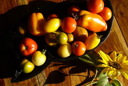 Tomates 2009: même dans l'adversité, on finit par récolter…